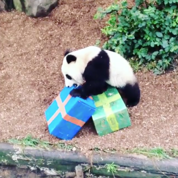 Telemundo 33Panda del Zoológico de San Diego celebra su primer ...